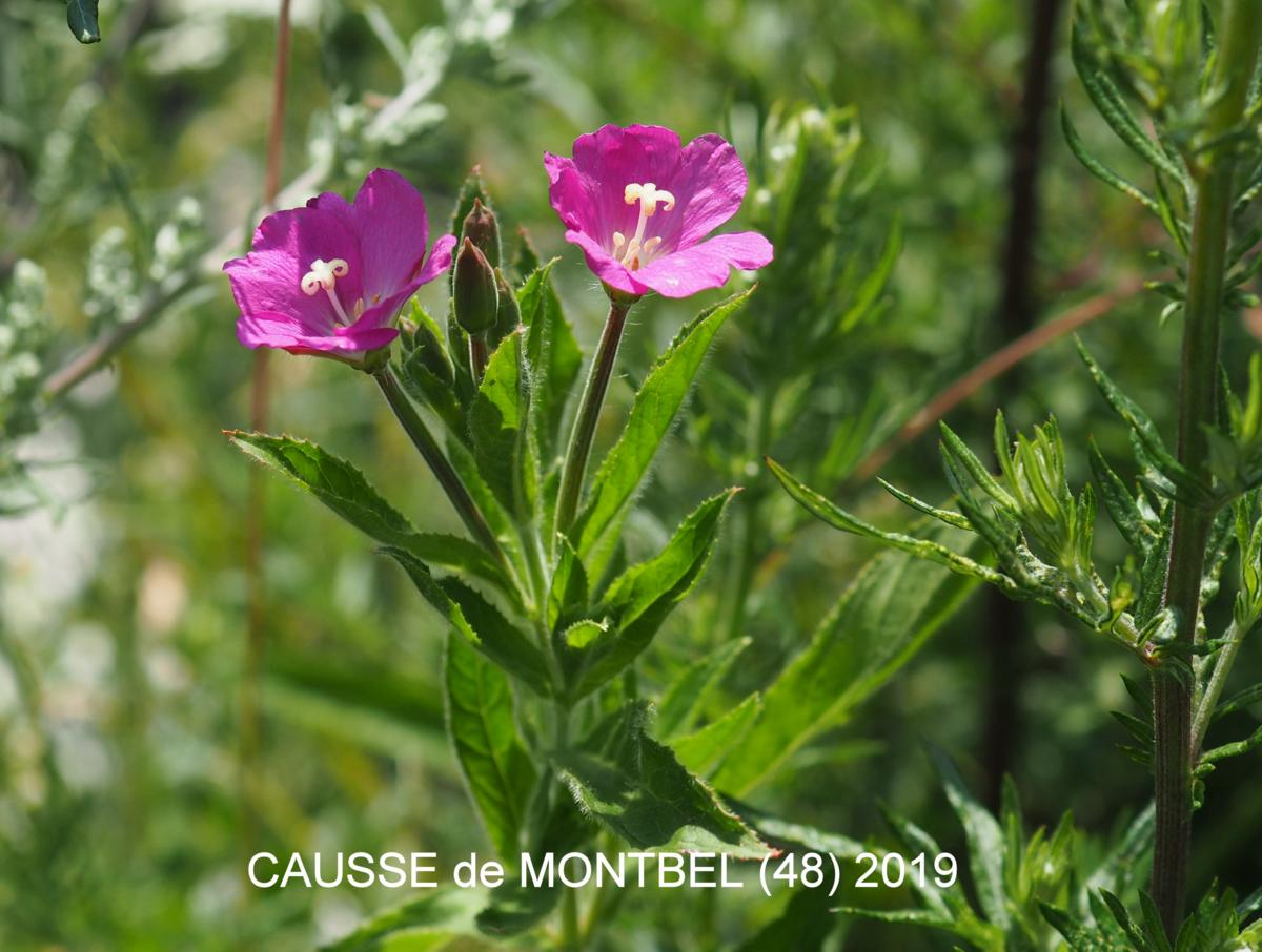 Willow-herb, Great Hairy flower