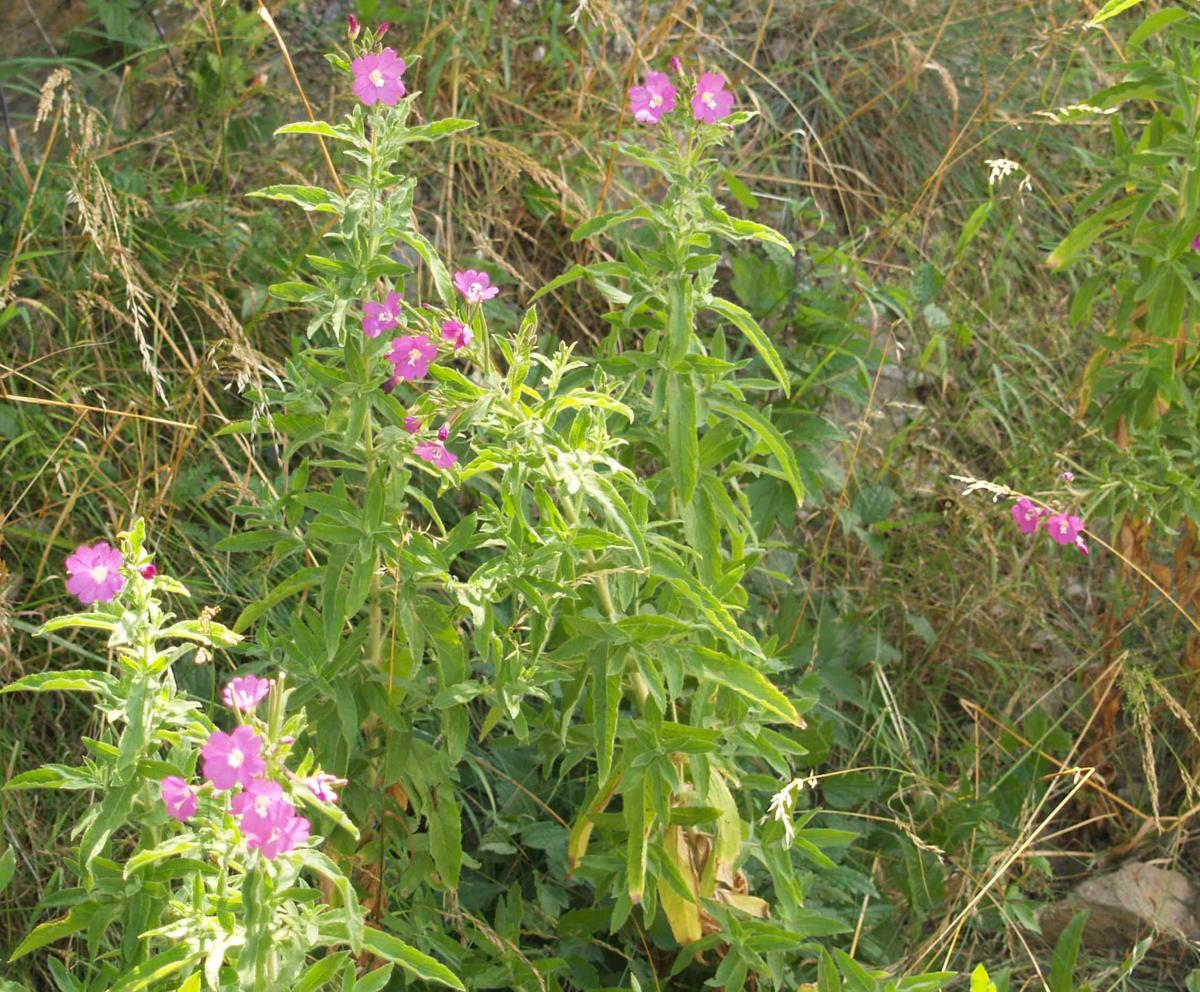 Willow-herb, Great Hairy plant
