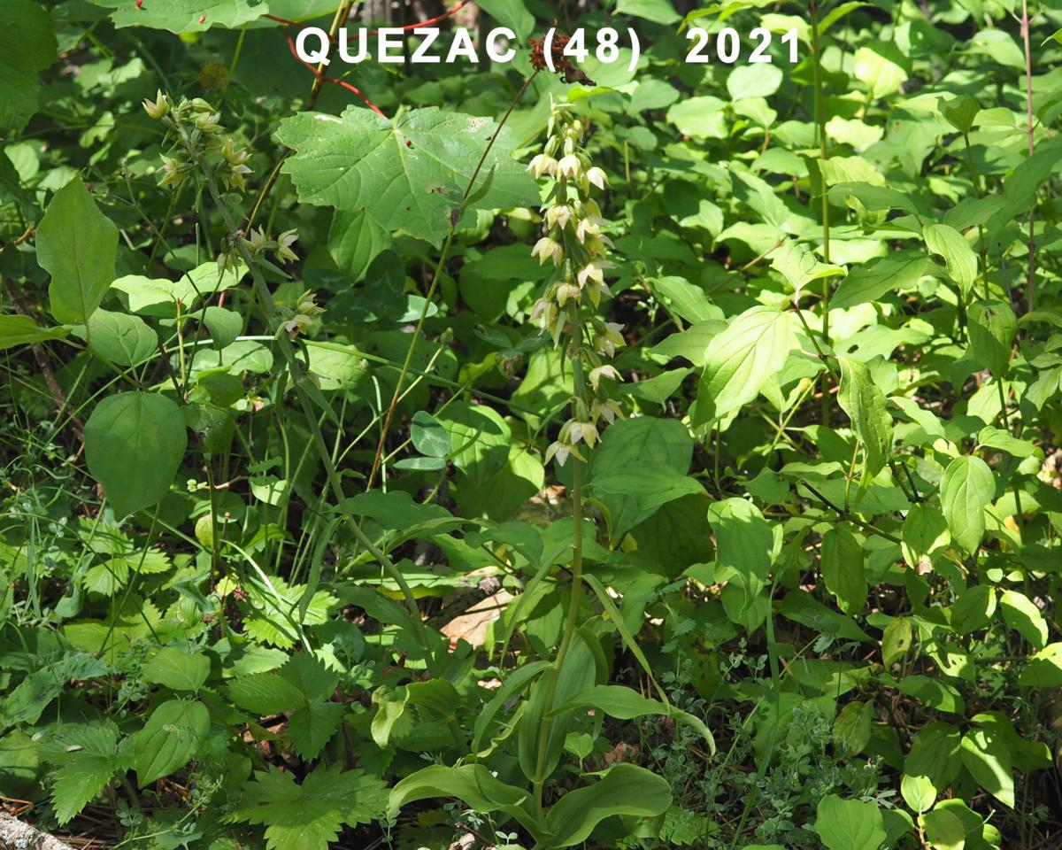 Helleborine, Narrow-lipped plant