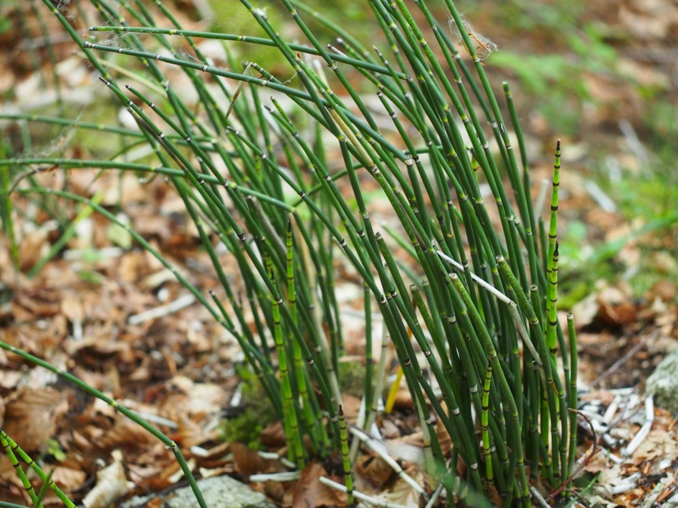 Horsetail, Rough