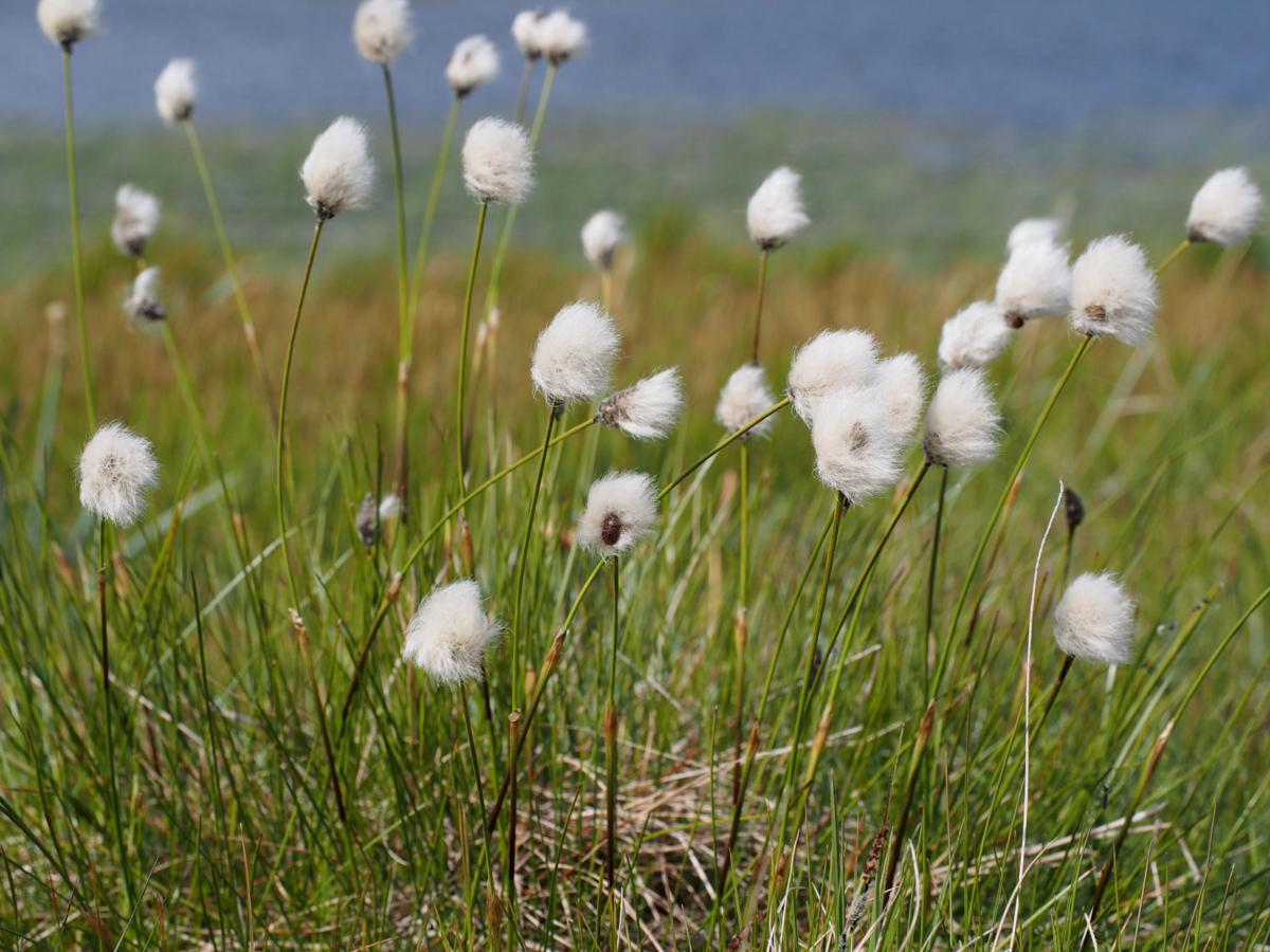 Cotton Grass, Hare's-Tail fruit