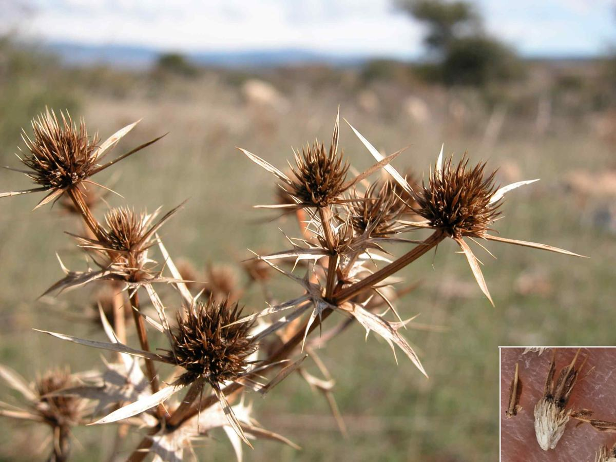 Eryngo, Field fruit