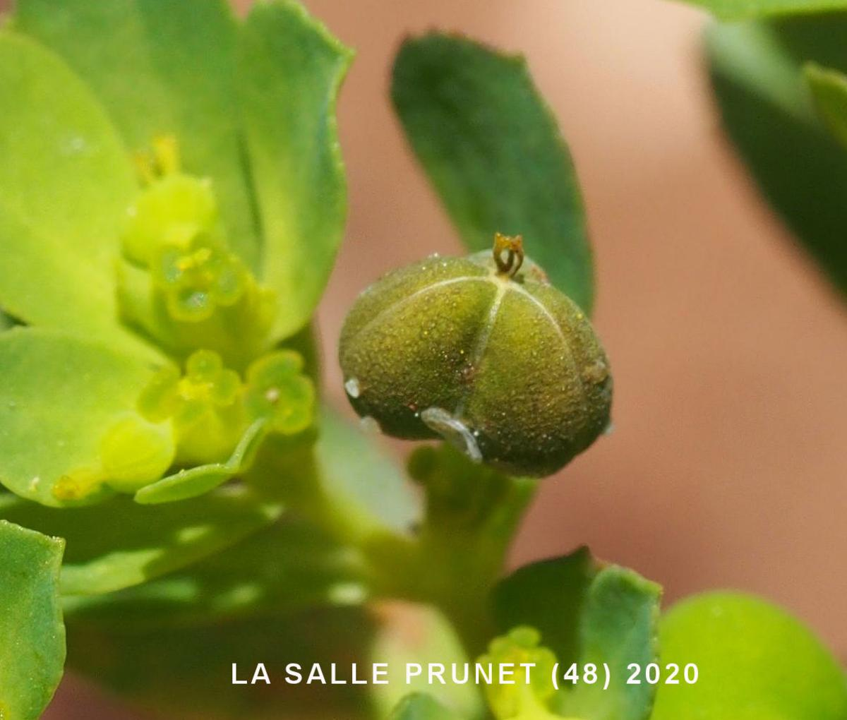 Spurge, Sun fruit