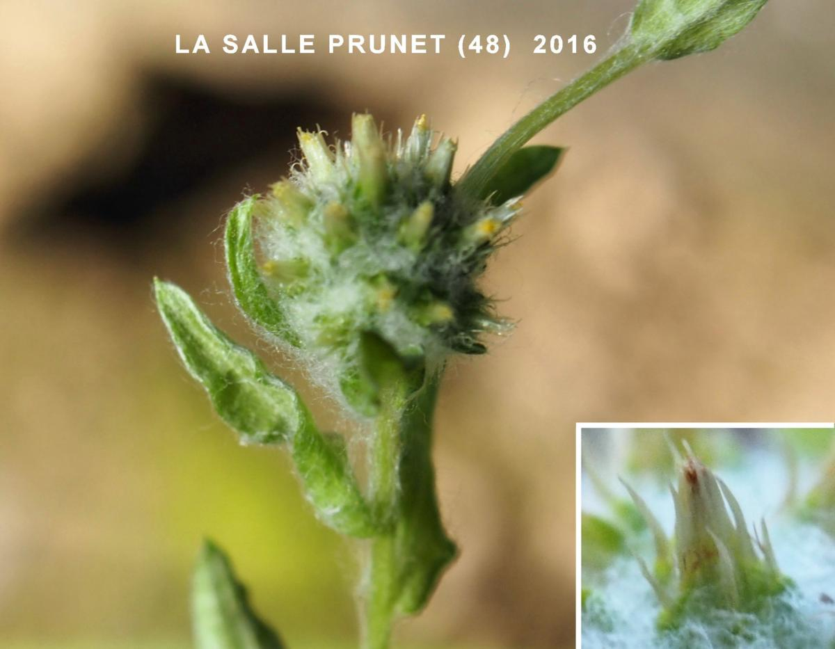 Cudweed, Common flower