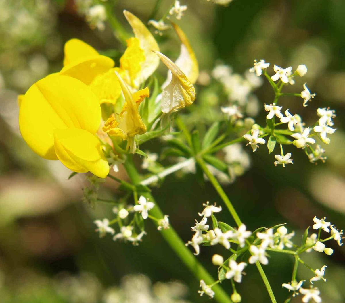 Bedstraw, (Shiny-leaved) flower