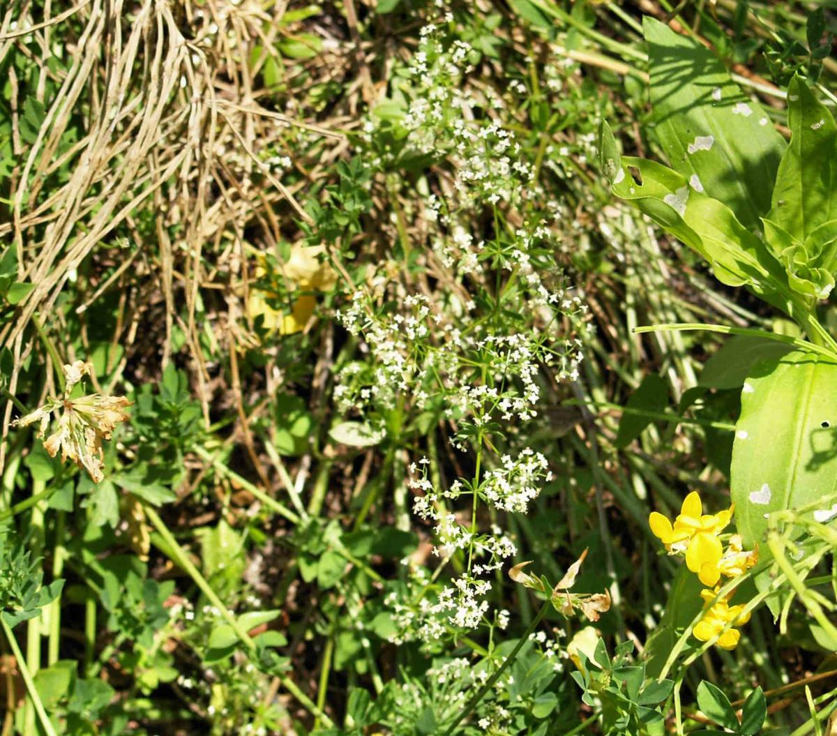 Bedstraw, (Shiny-leaved) plant