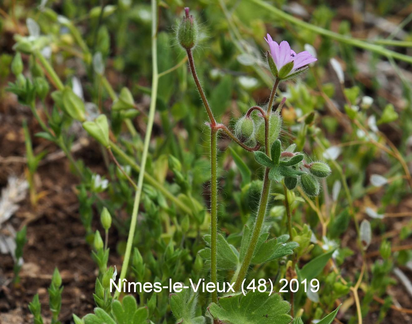Cranesbill, Dove's-foot