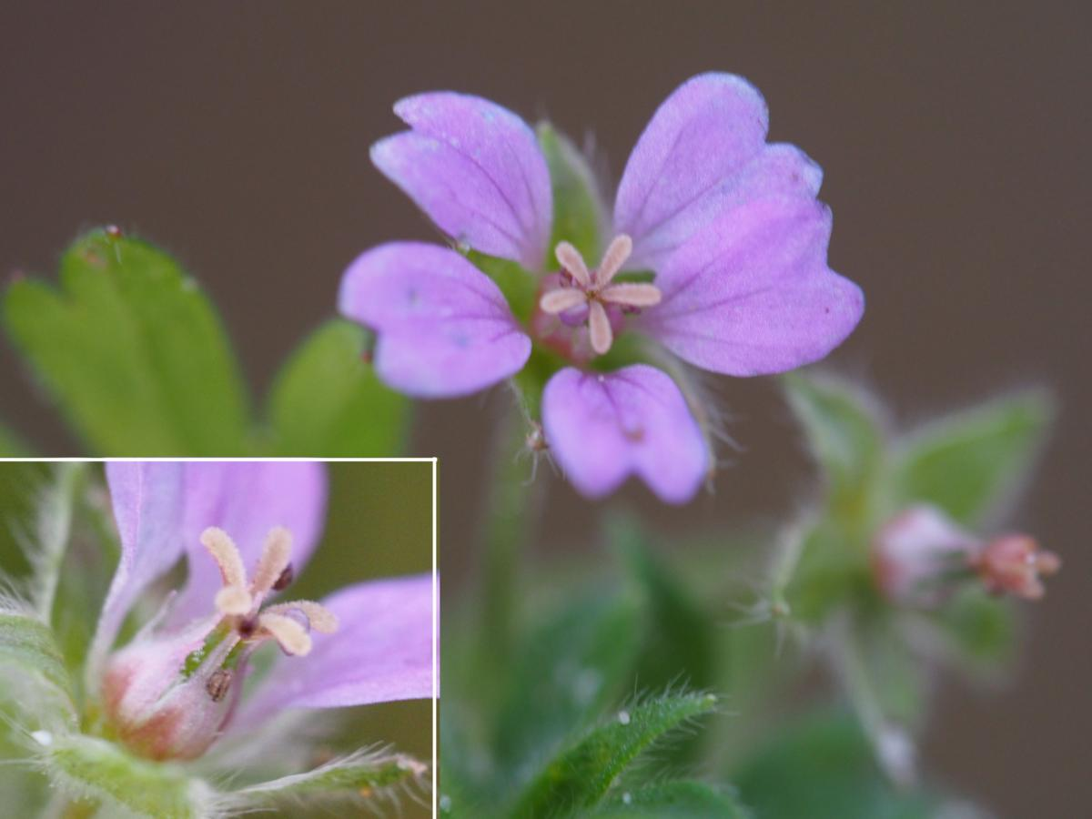 Cranesbill, Small-flowered flower