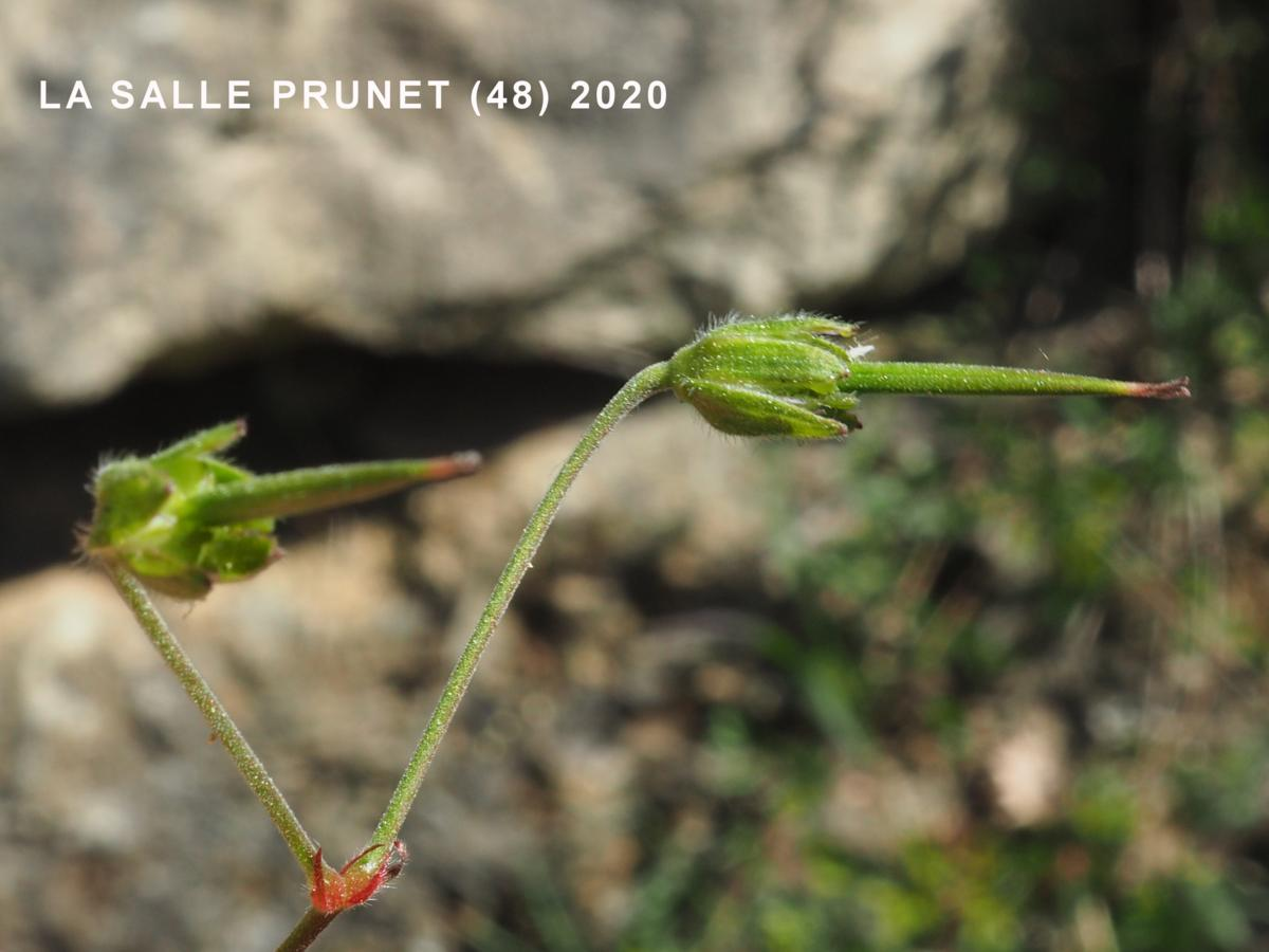 Cranesbill, Mountain fruit