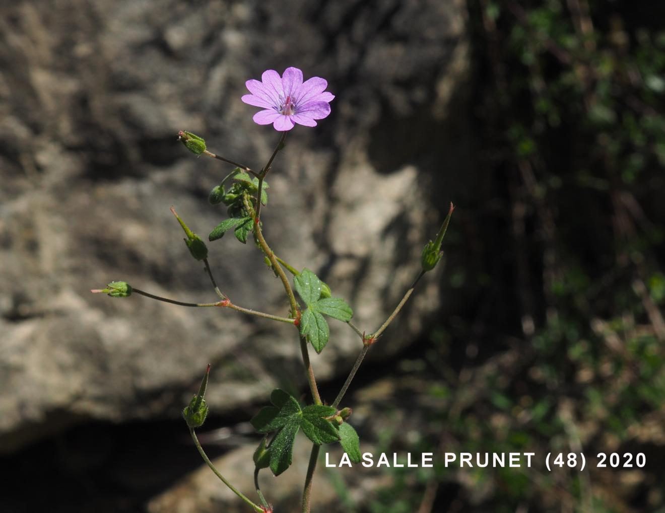 Cranesbill, Mountain