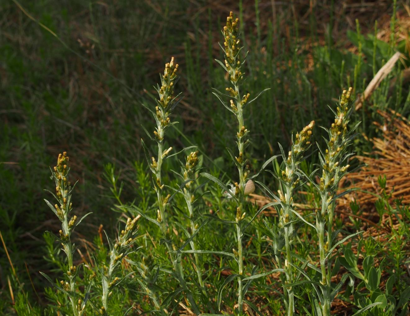 Cudweed, Wood