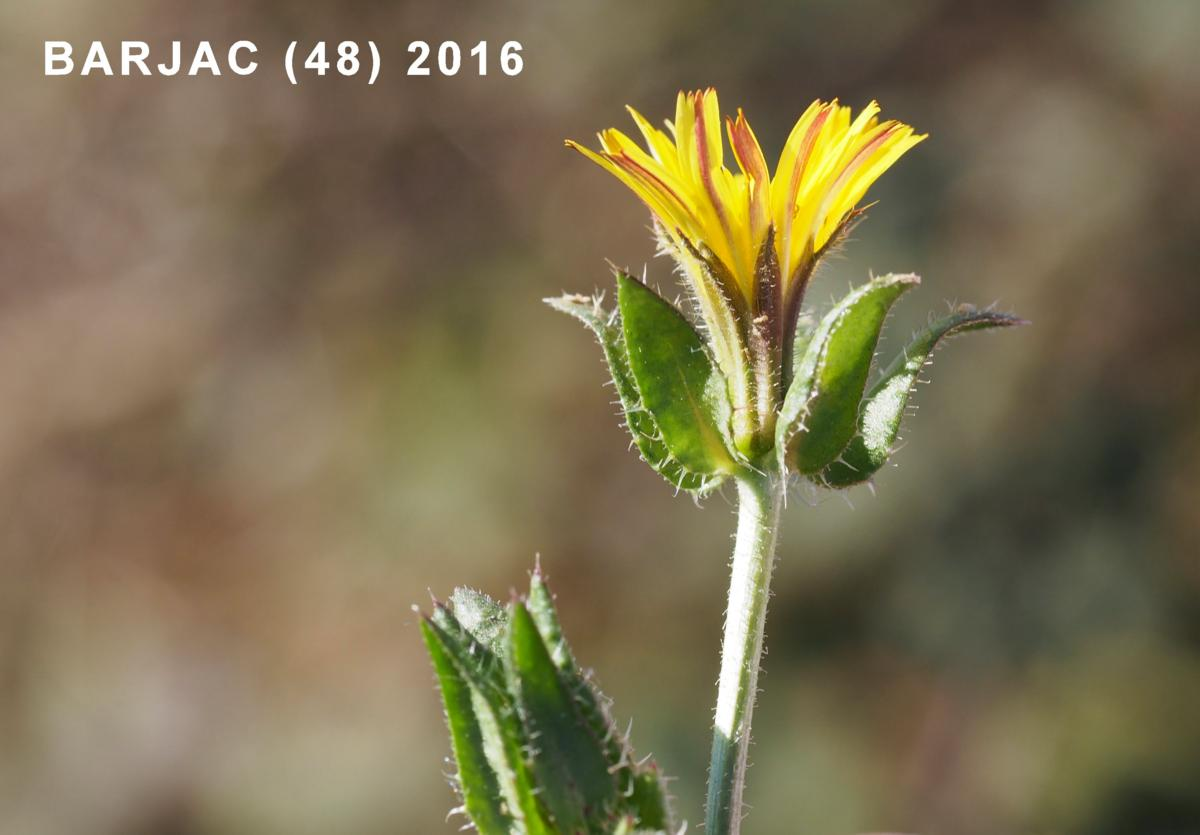 Oxtongue, Bristly flower