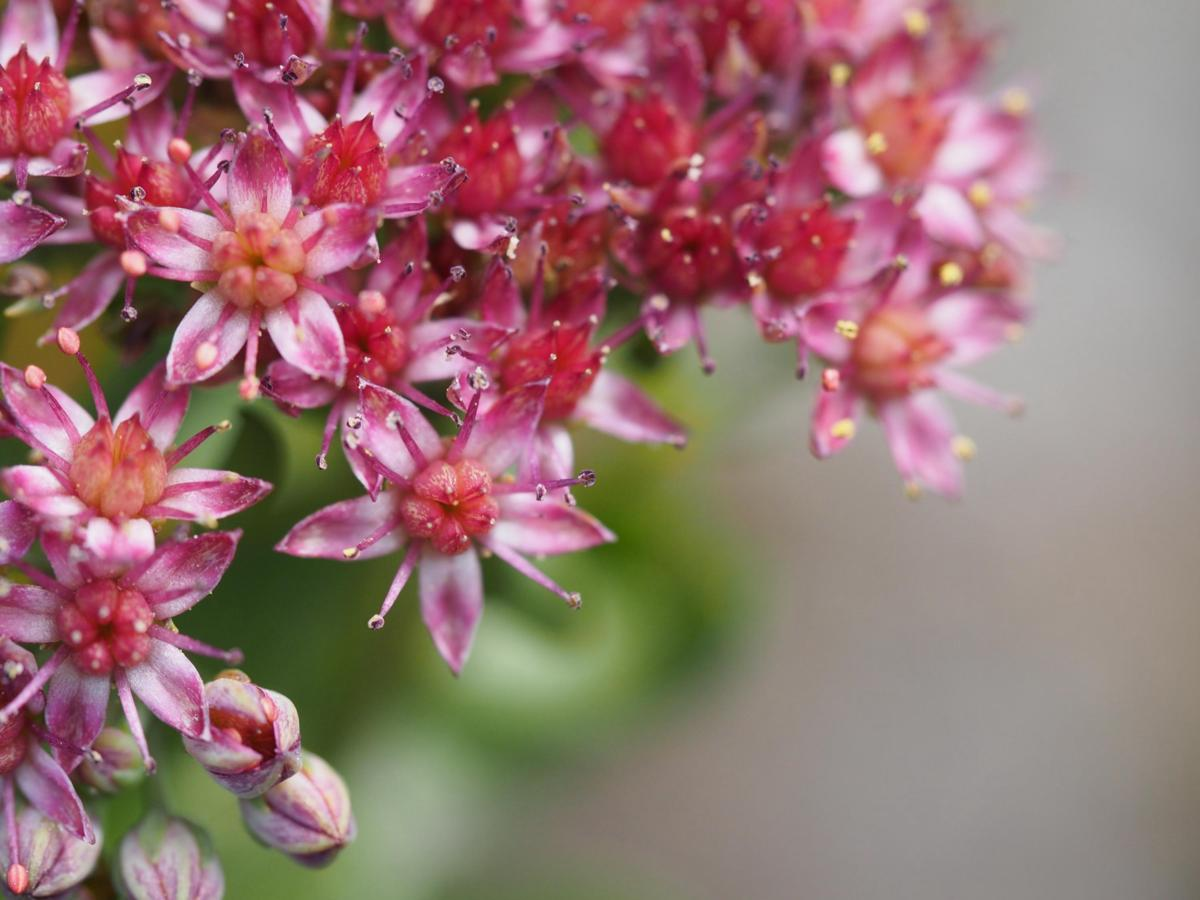Orpine, Livelong flower