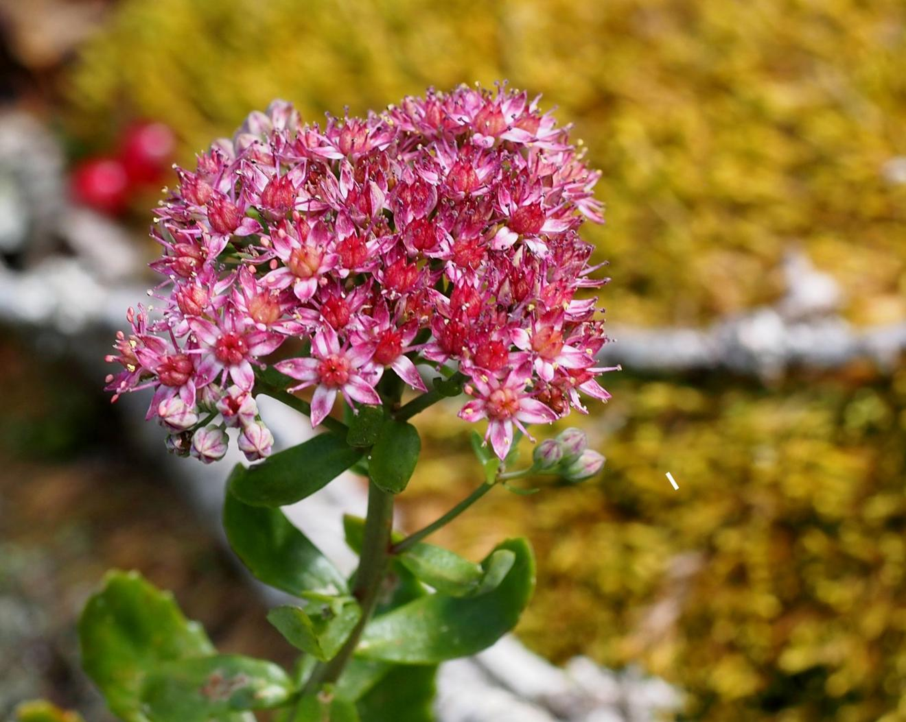 Orpine, Livelong