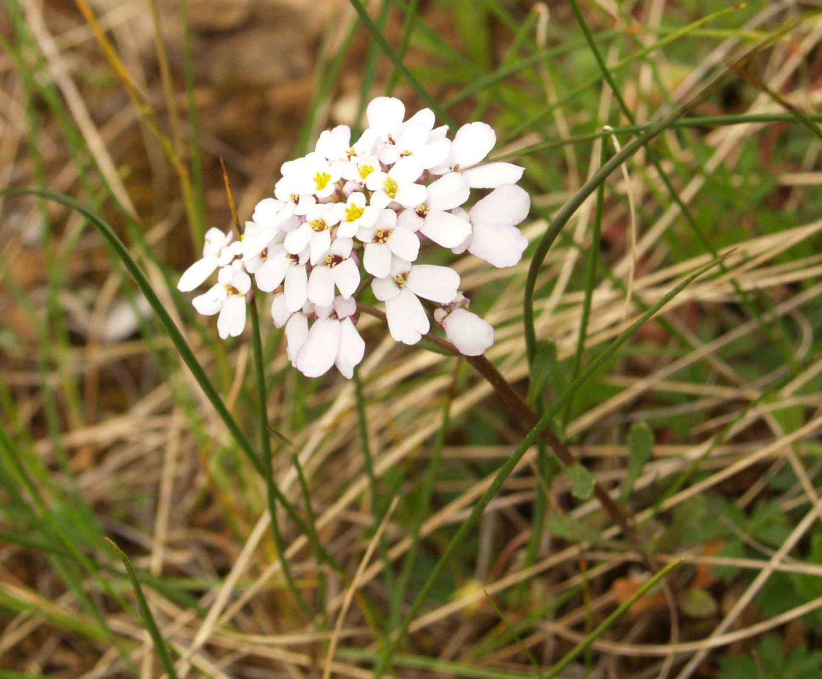 Candytuft, Annual