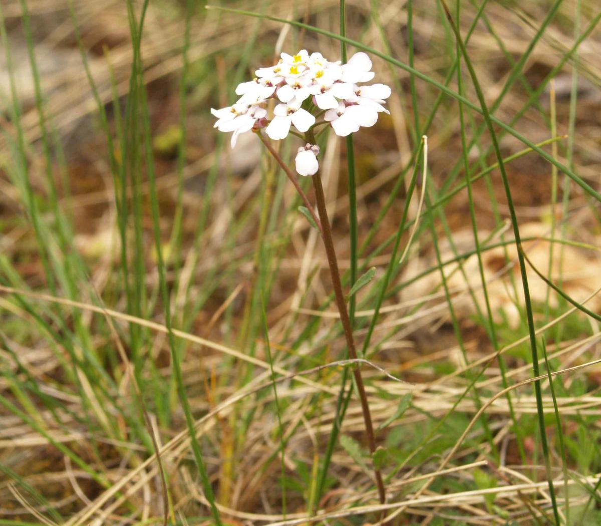 Candytuft, Annual plant