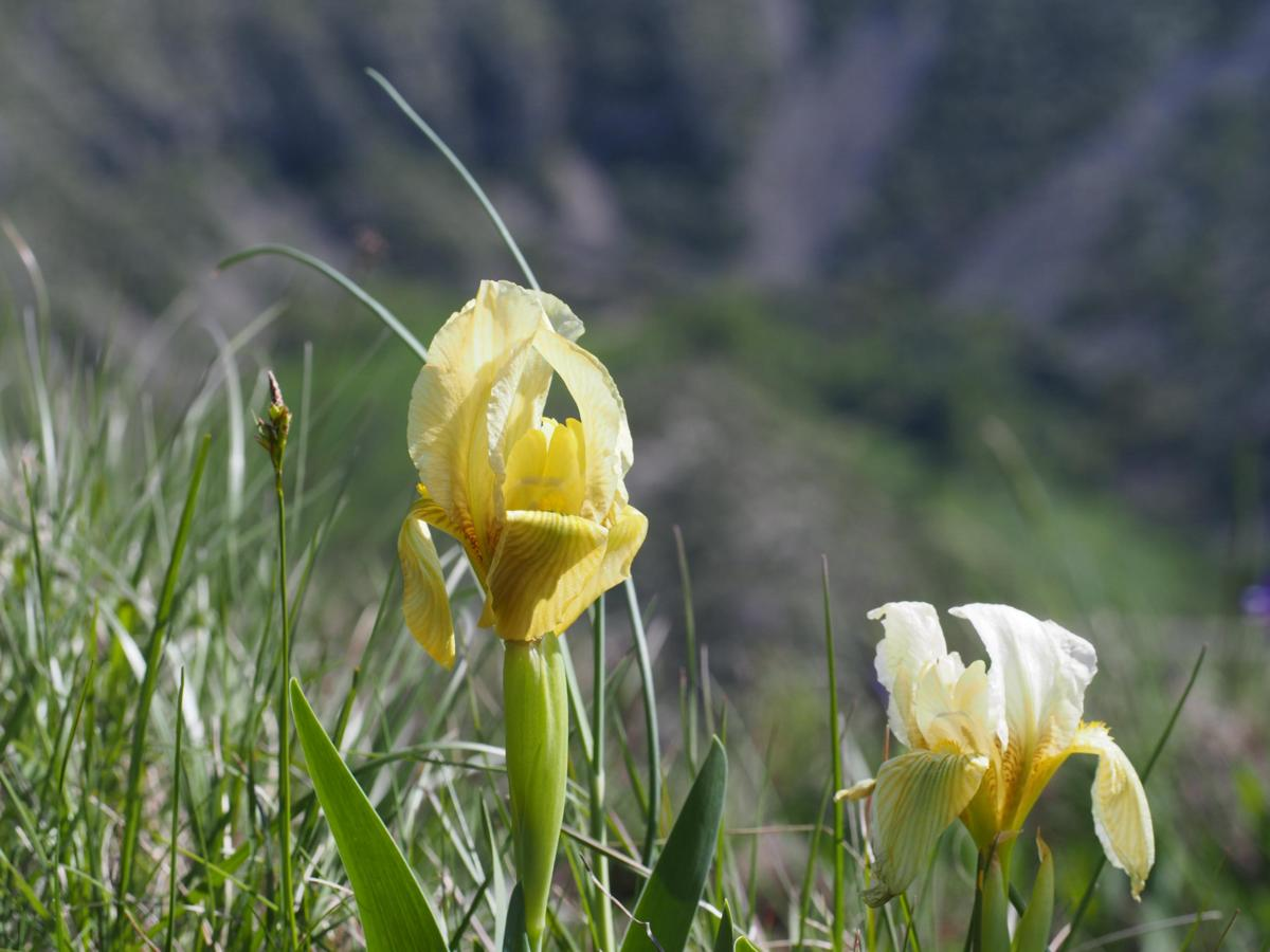 Iris, Yellow flower