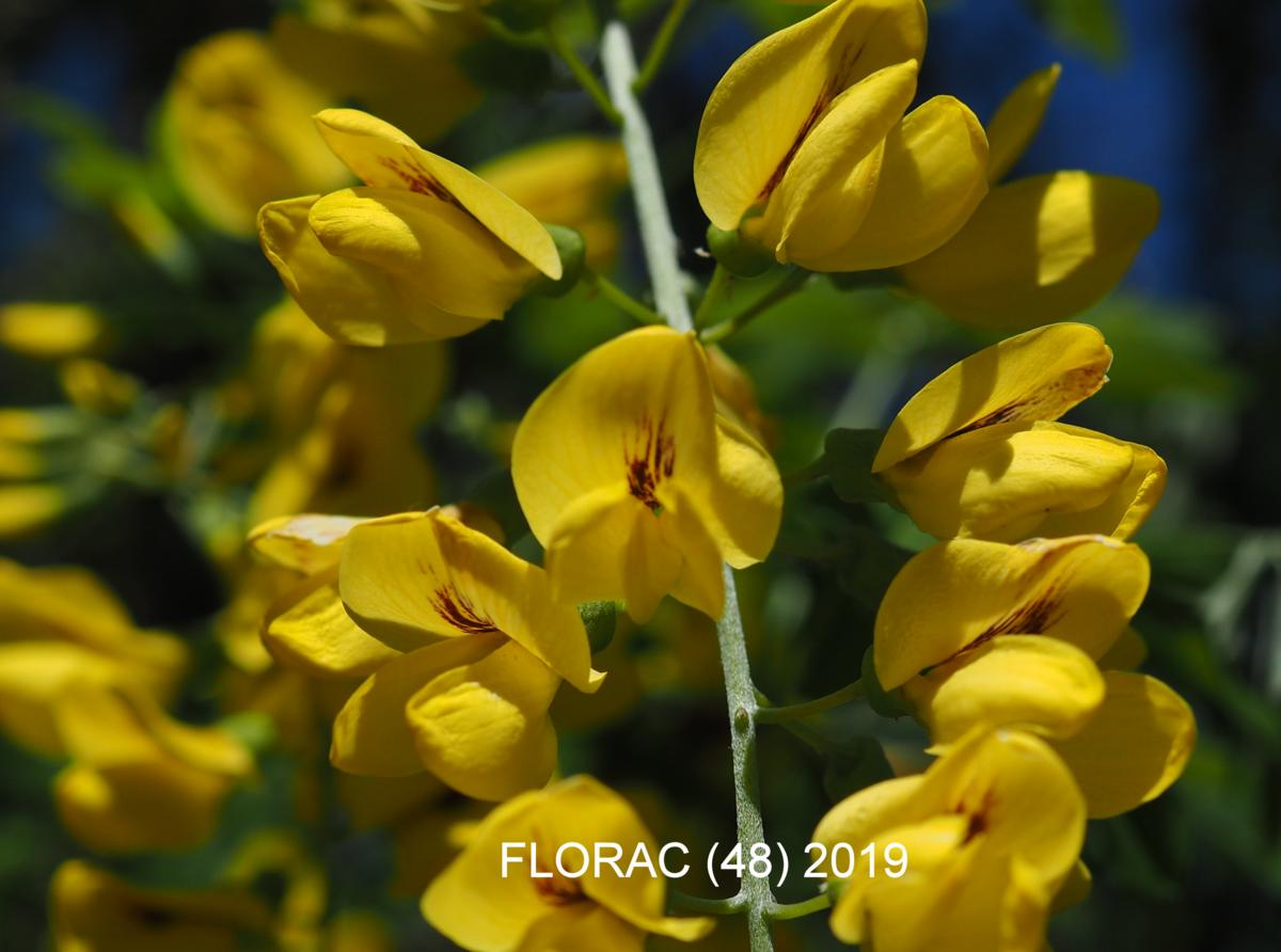 Laburnum, Common flower