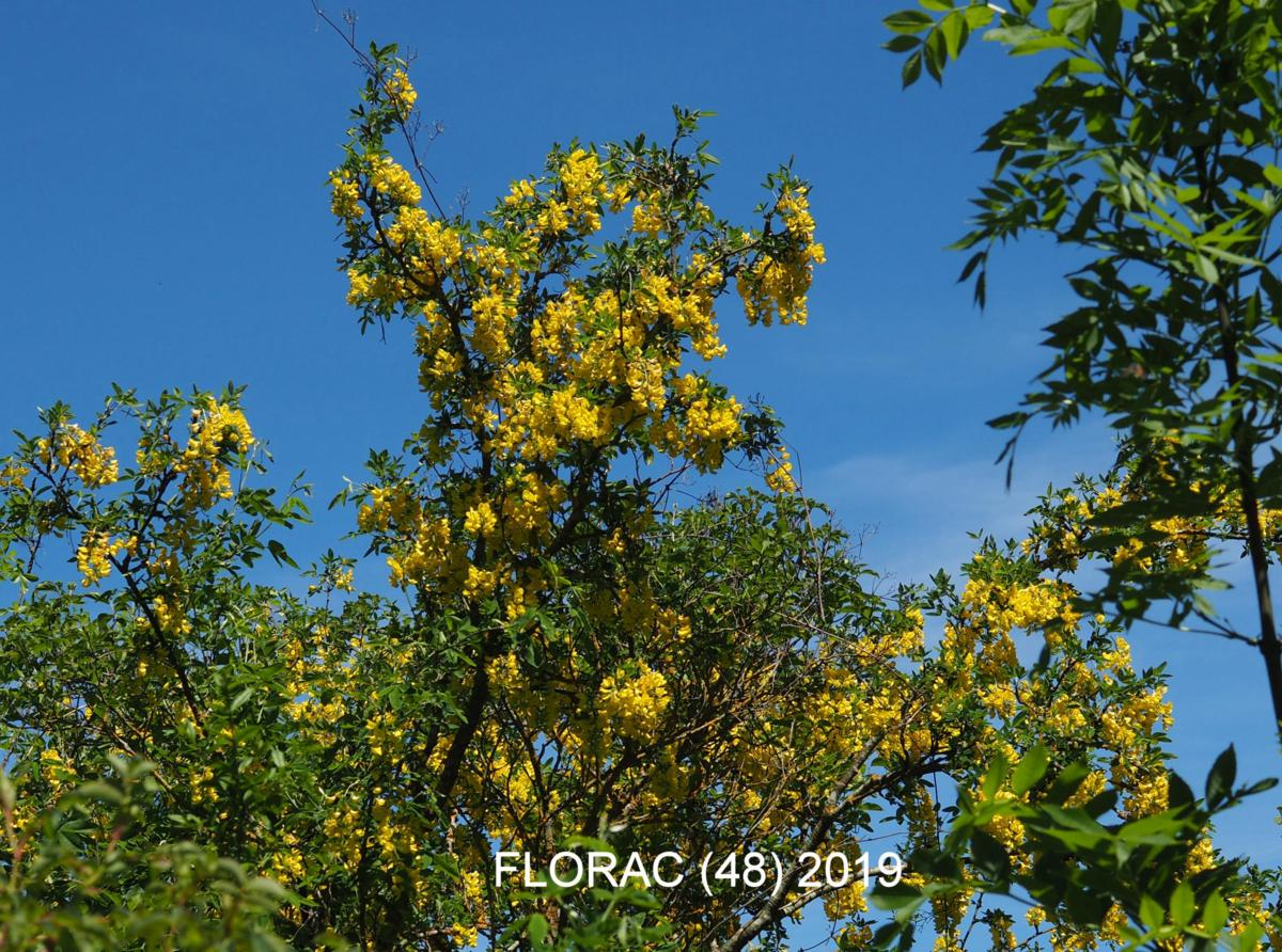 Laburnum, Common plant
