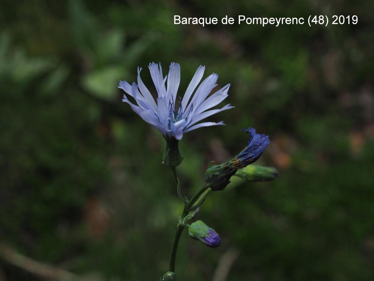 Blue-Sow-Thistle, Hailess flower