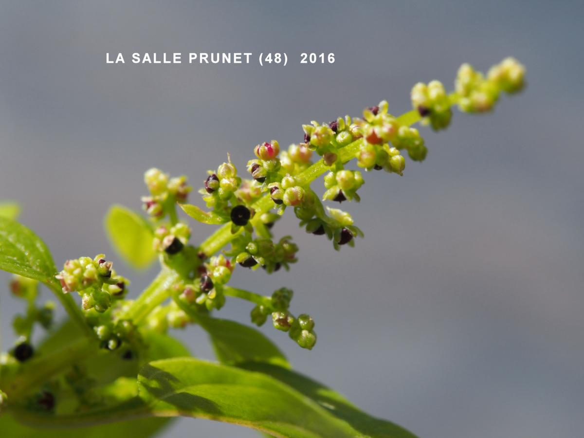 All-seed, Goosefoot fruit