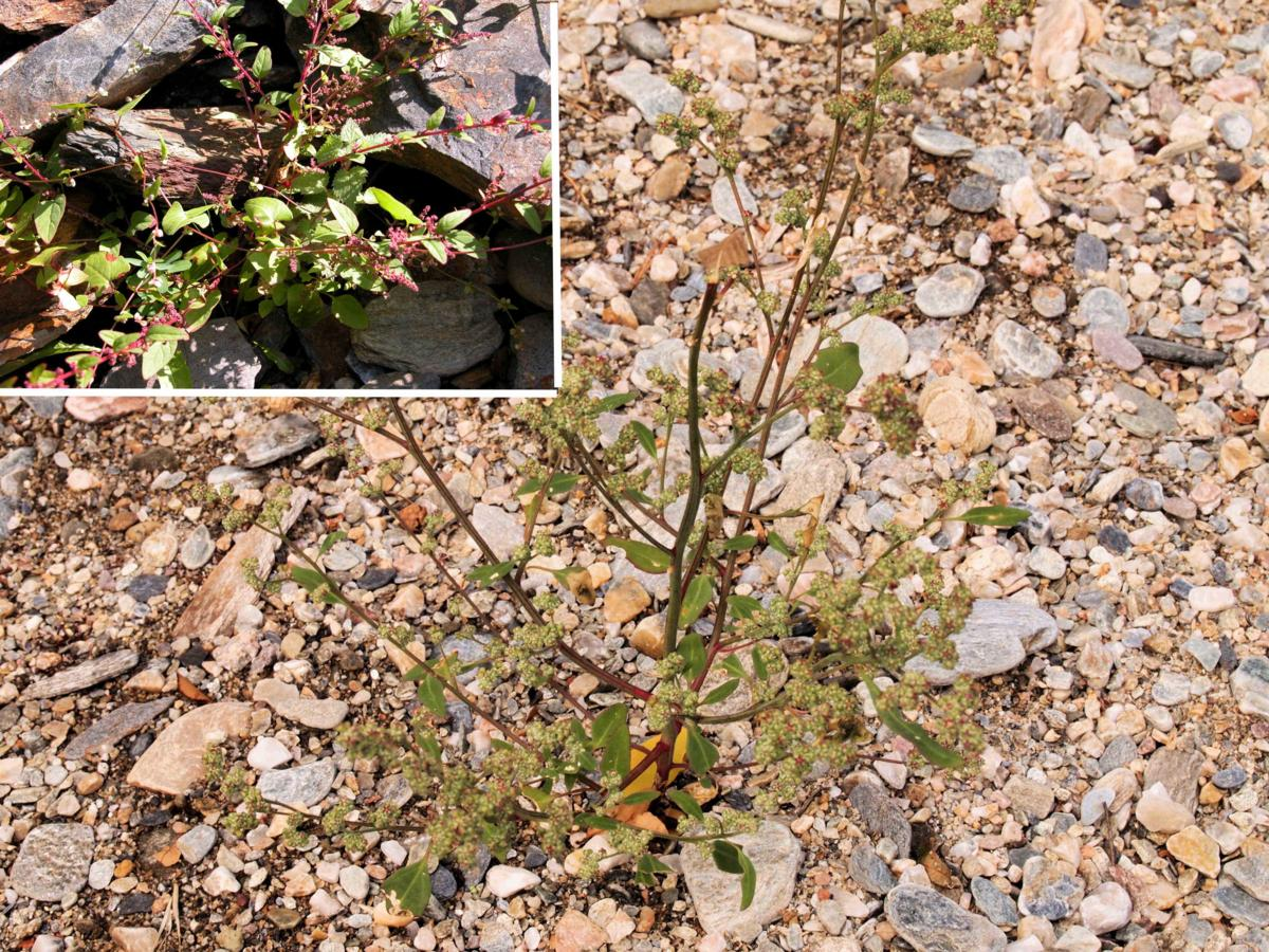 All-seed, Goosefoot plant