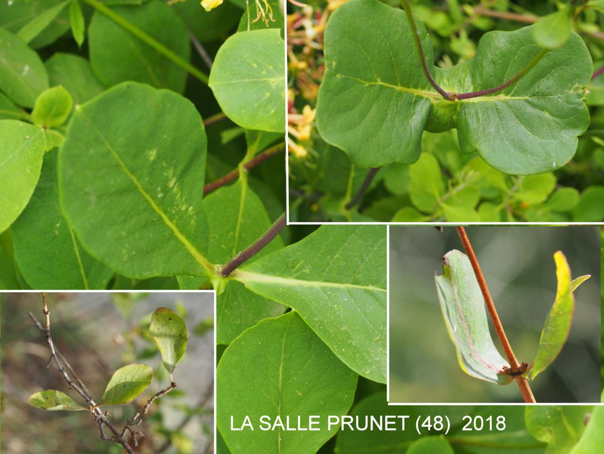 Honeysuckle, Eutruscan  leaf
