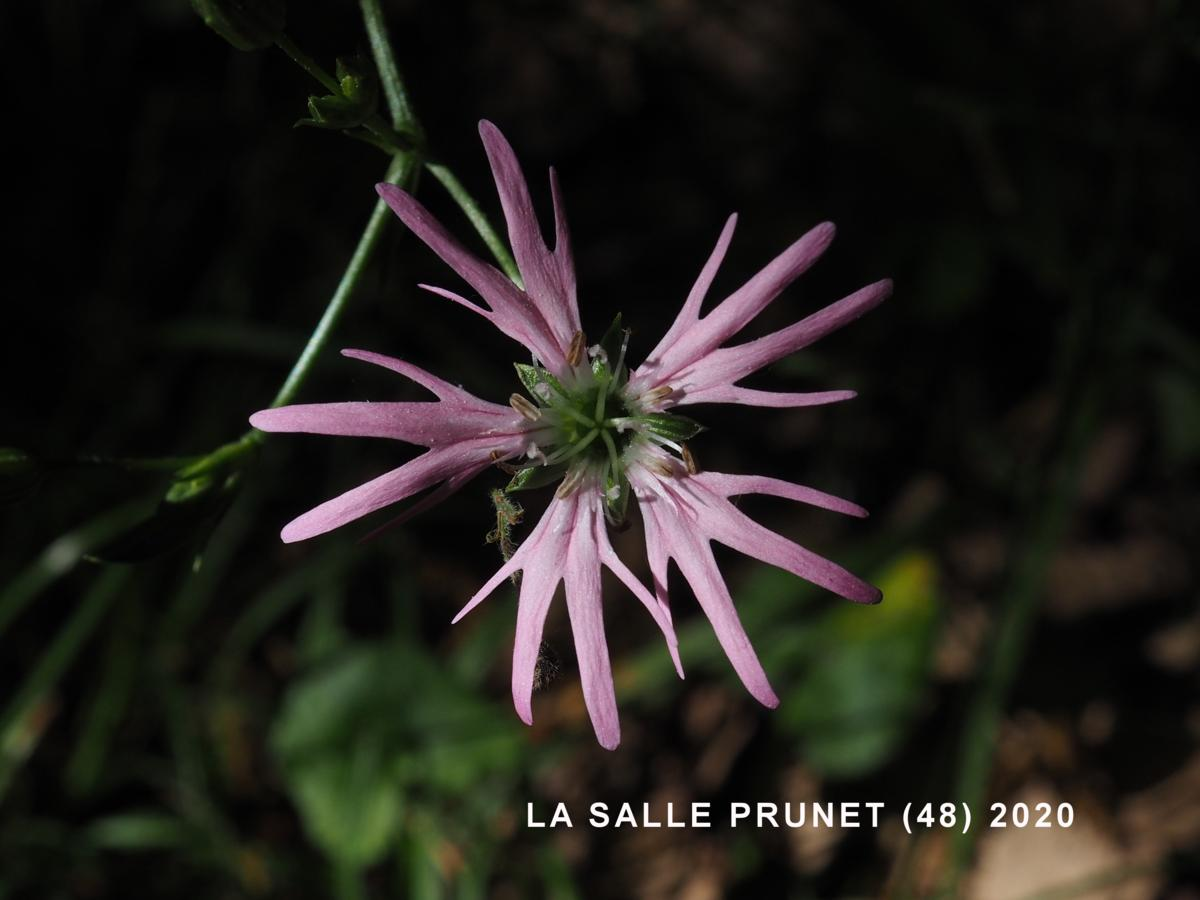 Ragged Robin flower