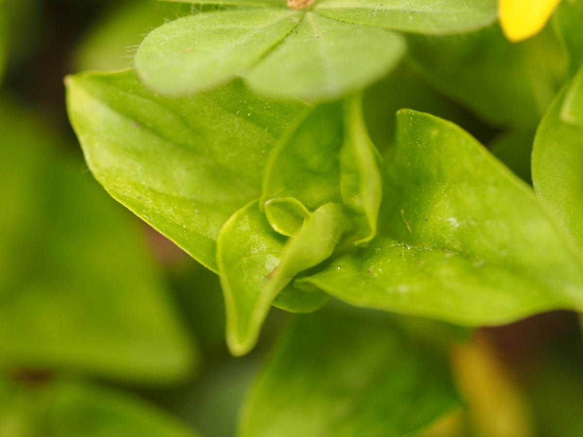 Pimpernel, Yellow leaf