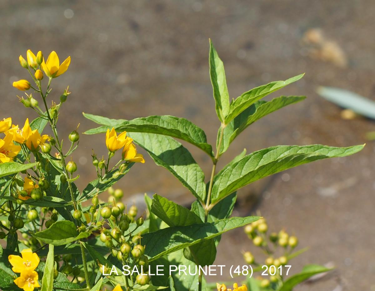Loosestrife, Yellow leaf