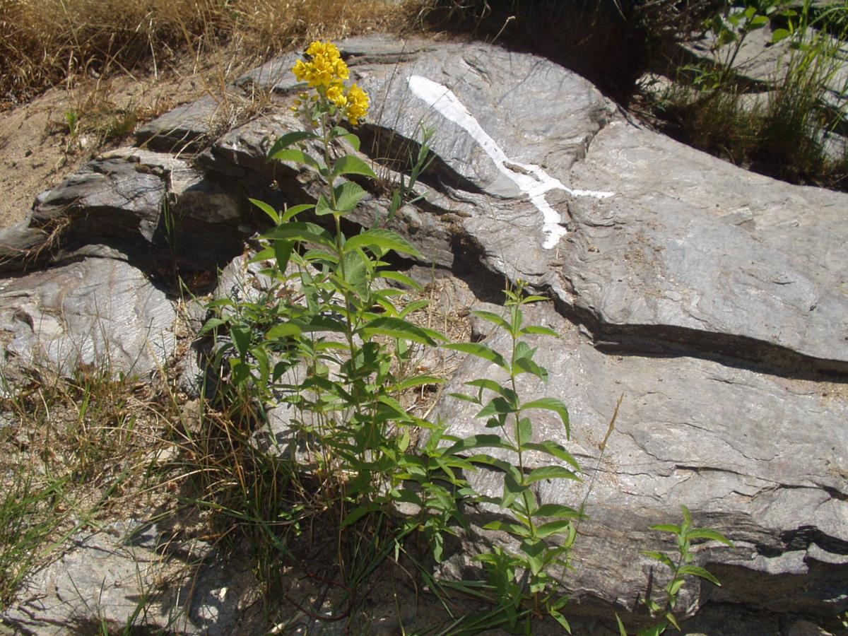 Loosestrife, Yellow plant