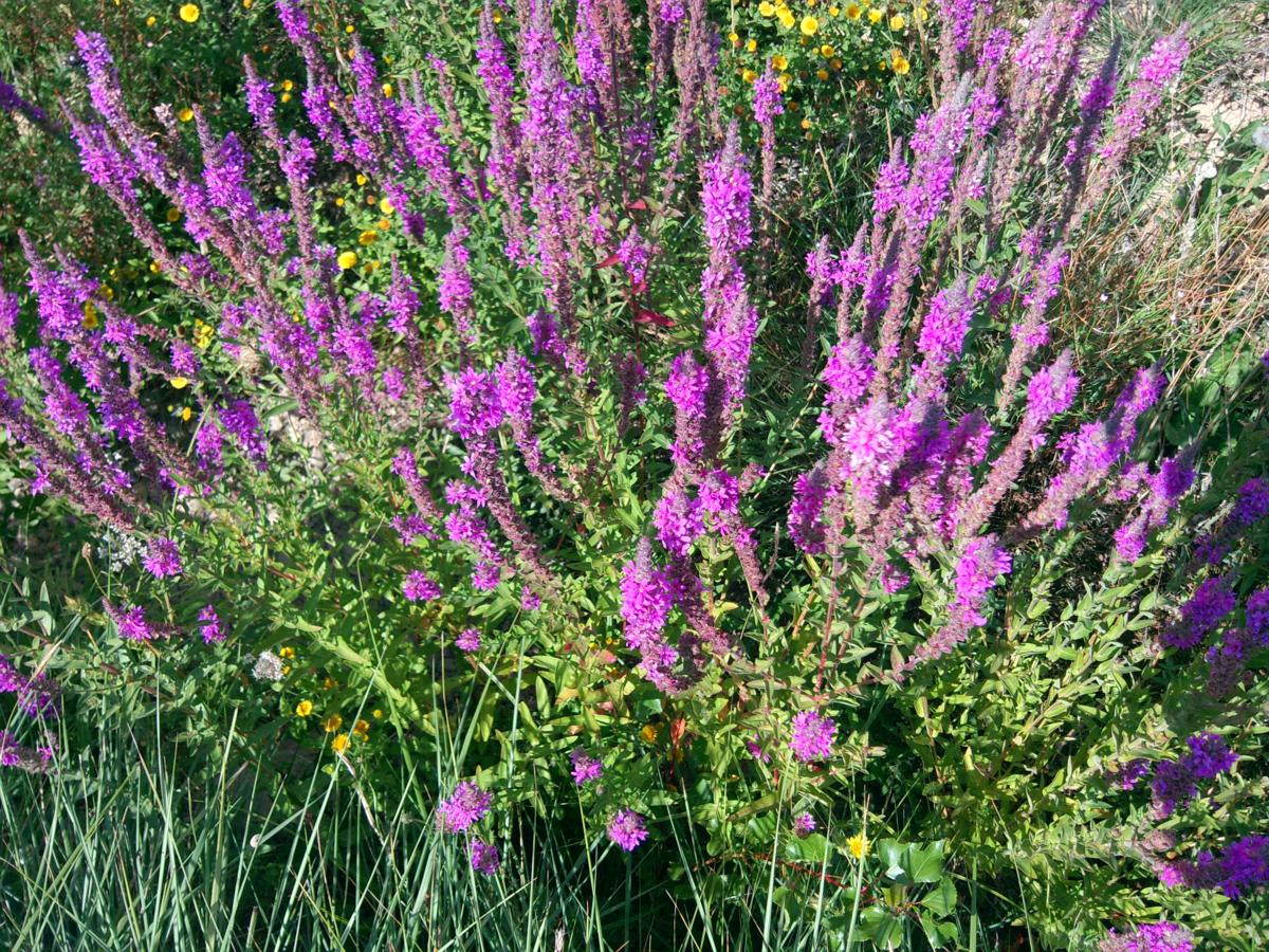 Loosestrife, Purple plant