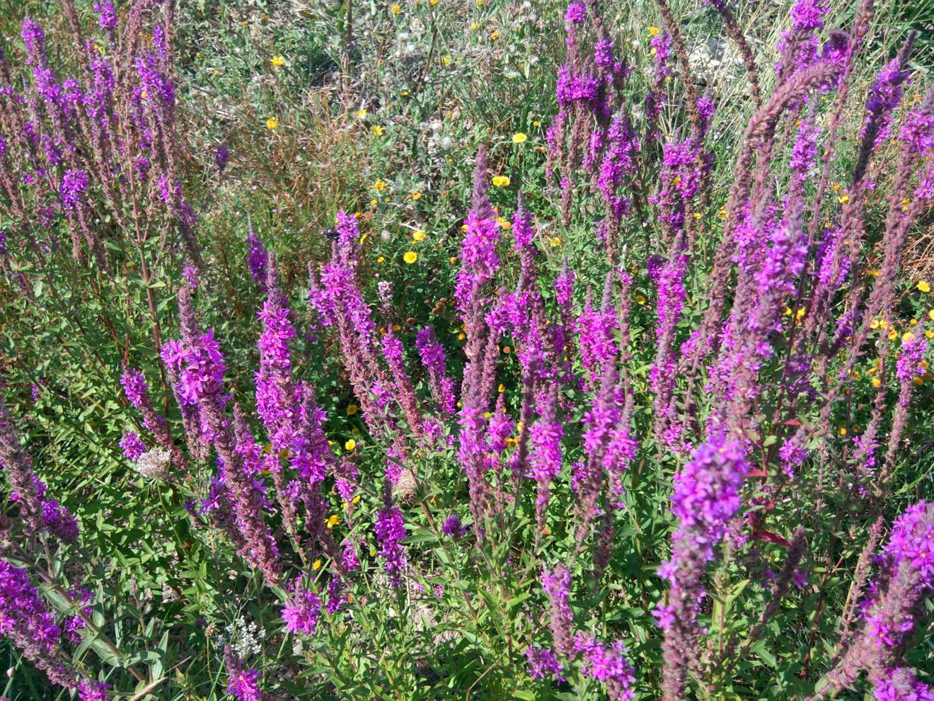 Loosestrife, Purple