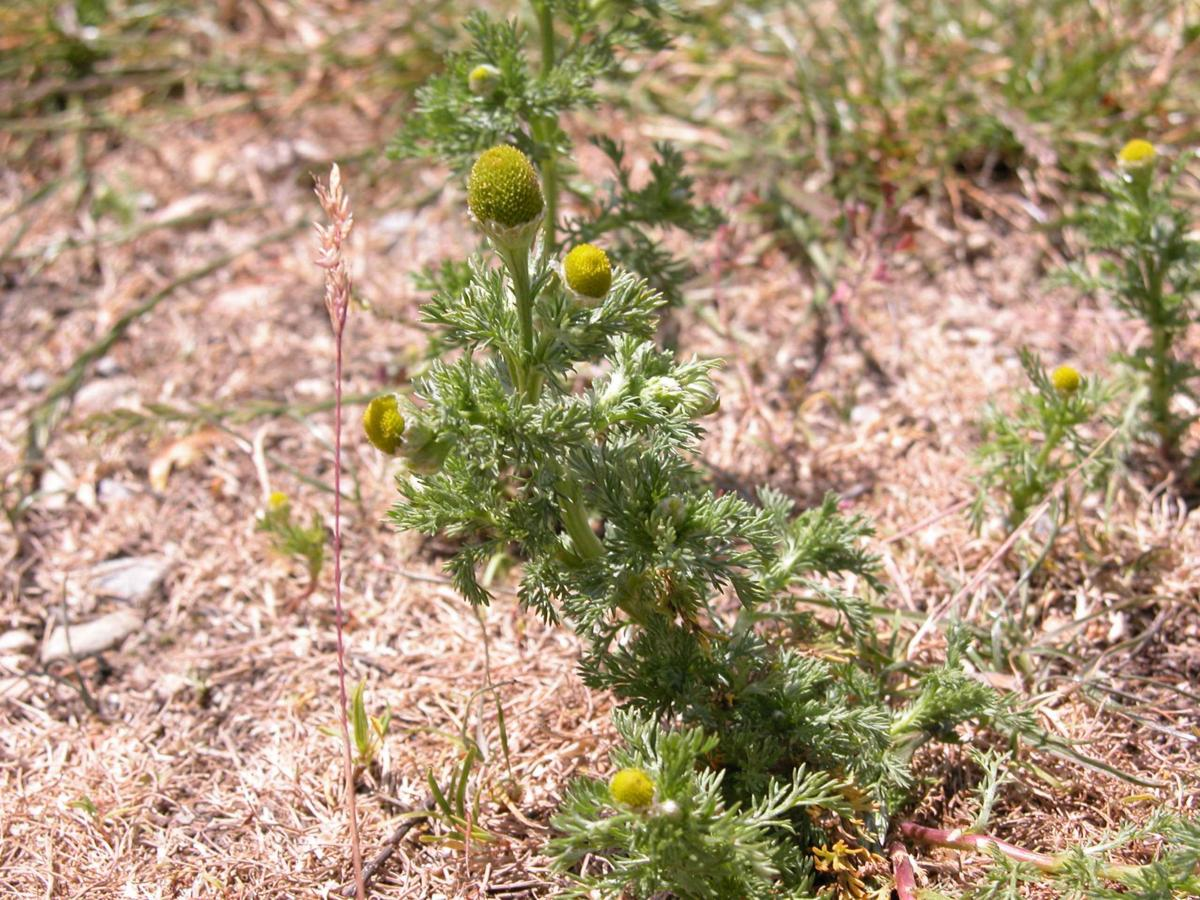 Mayweed, Rayless, Pineapple weed plant