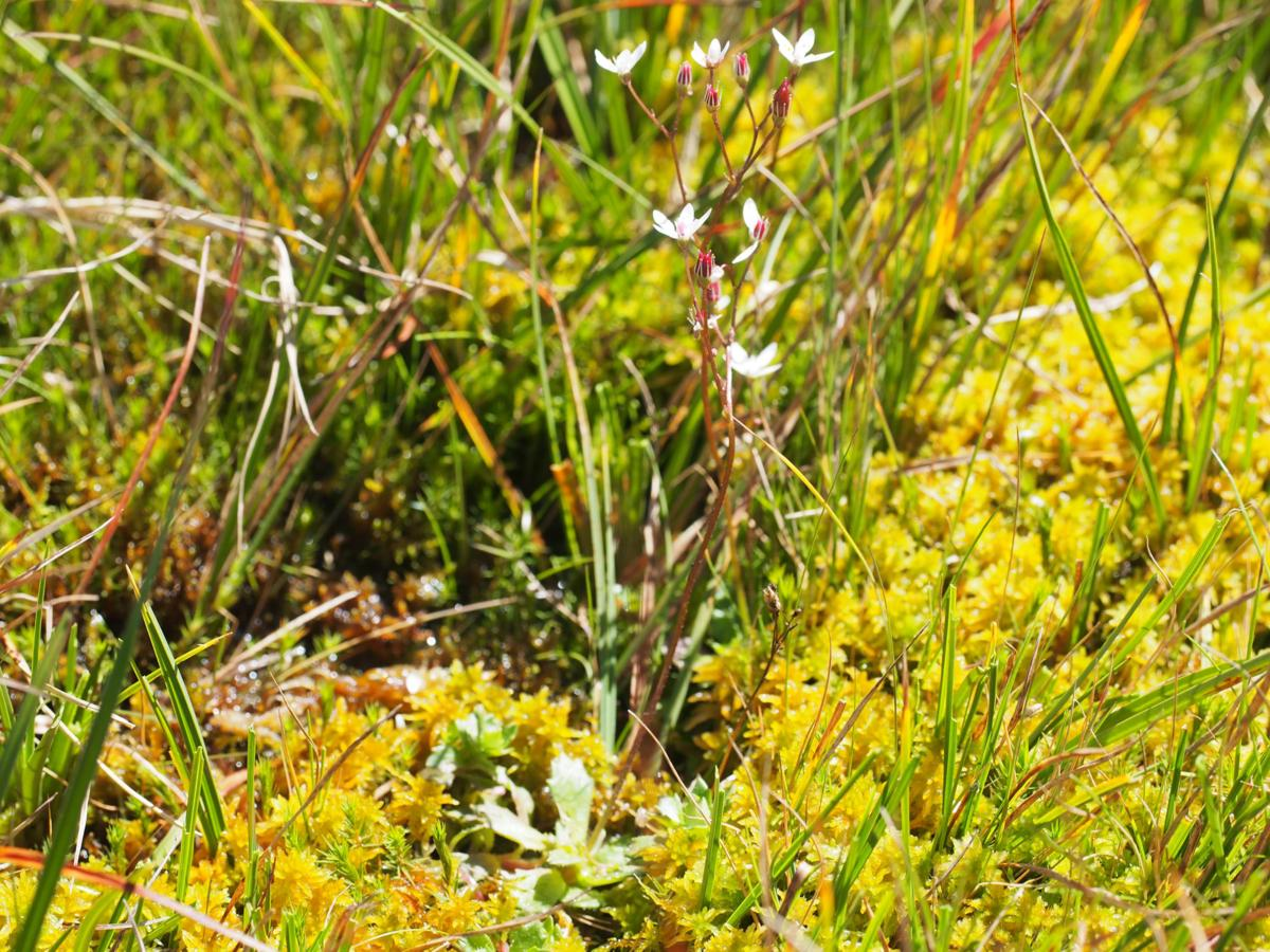 Saxifrage, Starry plant