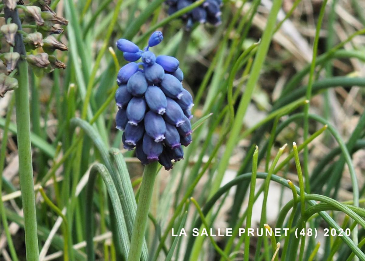 Grape hyacinth, Southern flower