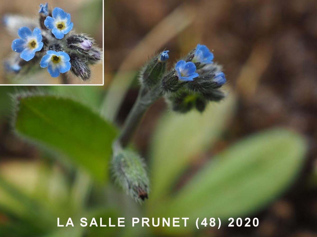 Forget-me-not, Early flower