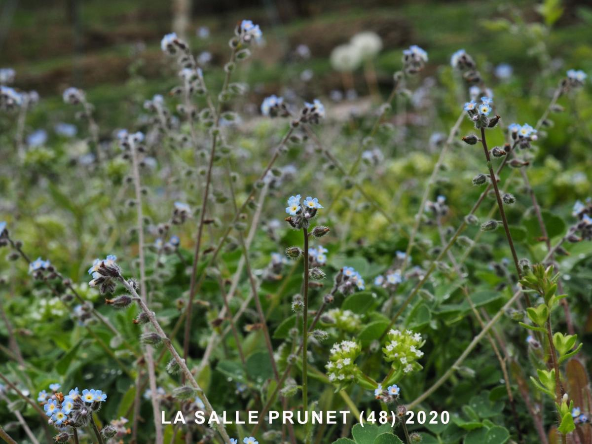 Forget-me-not, Early plant