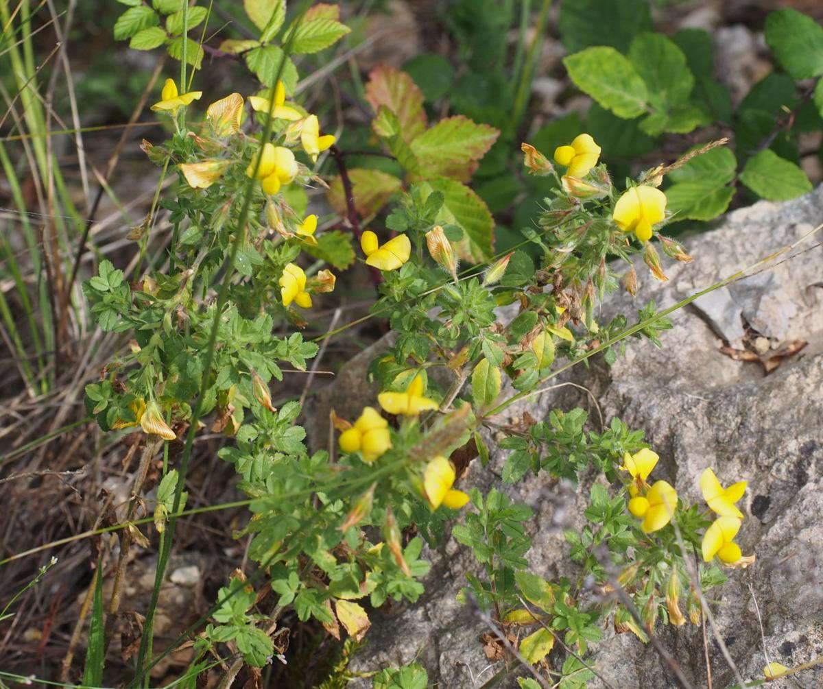 Restharrow, Large Yellow plant