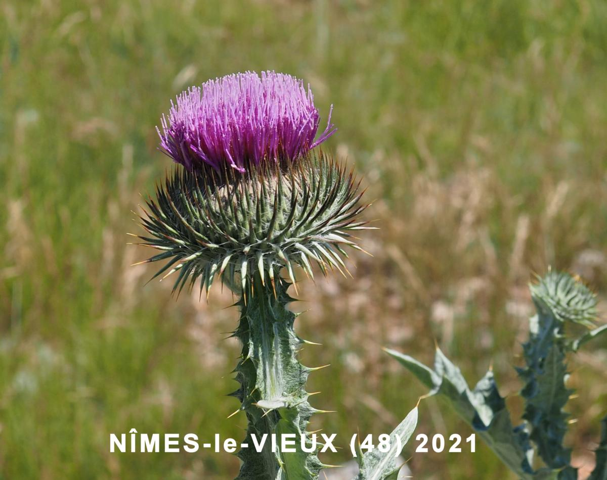 Thistle, Scotch, Cotton thistle flower