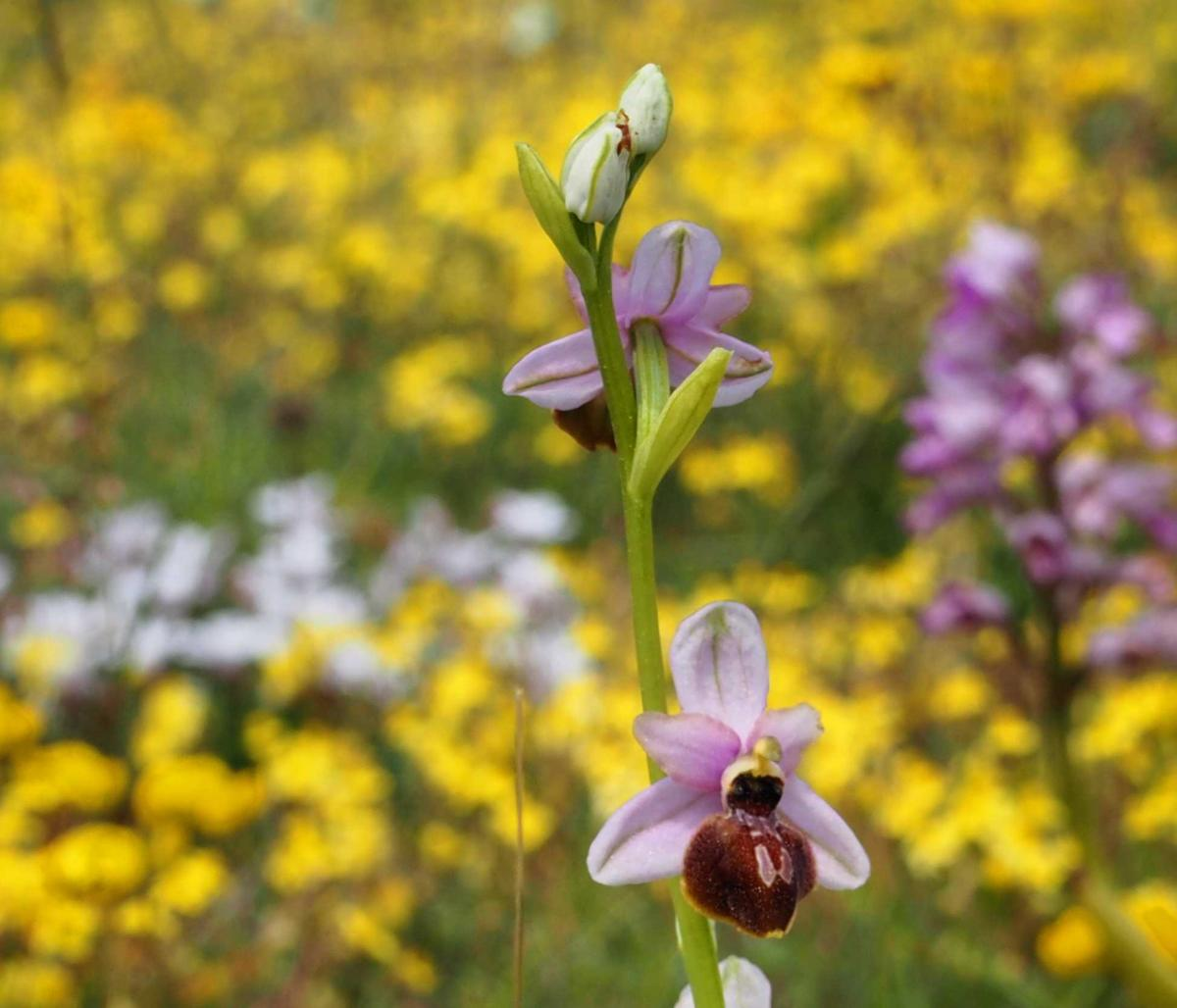 Ophrys of Aveyron flower