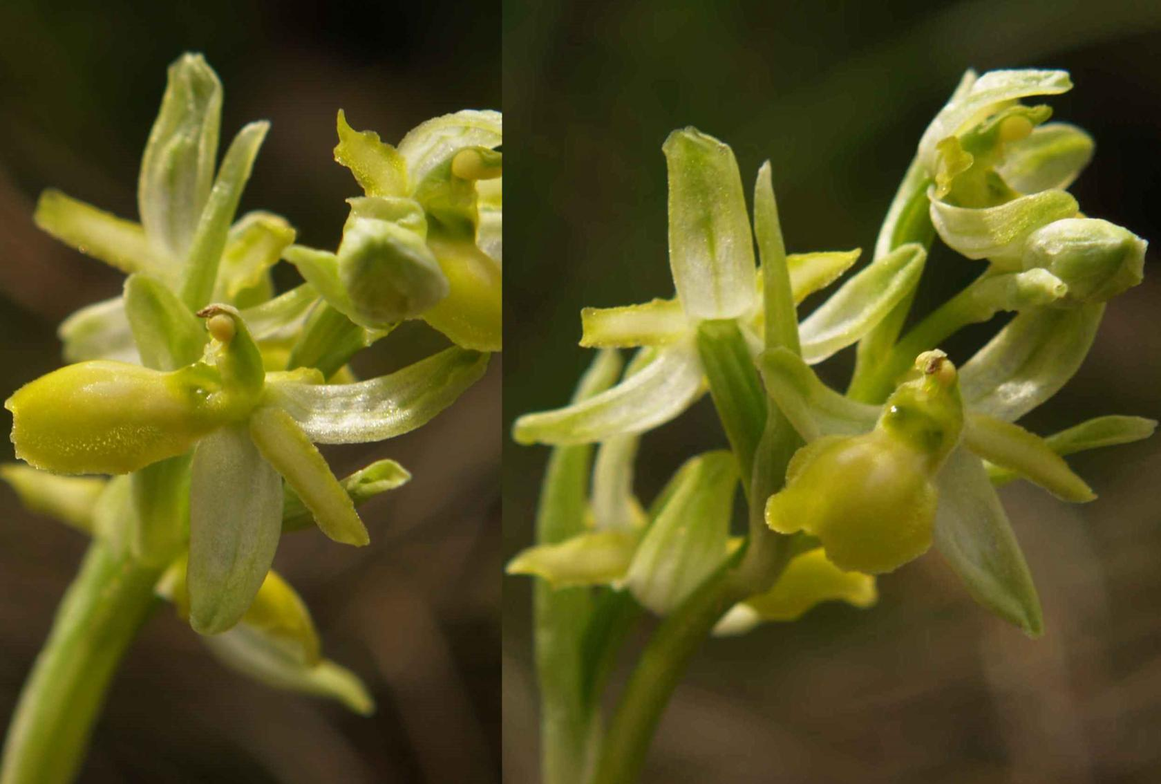 Orchid, Small Spider var. chlorantha