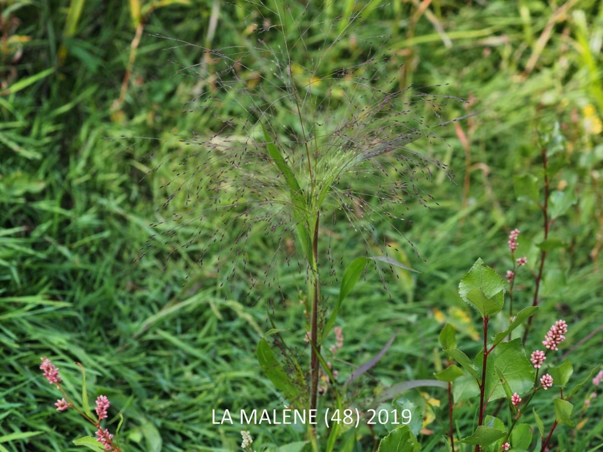 Old Witch grass plant