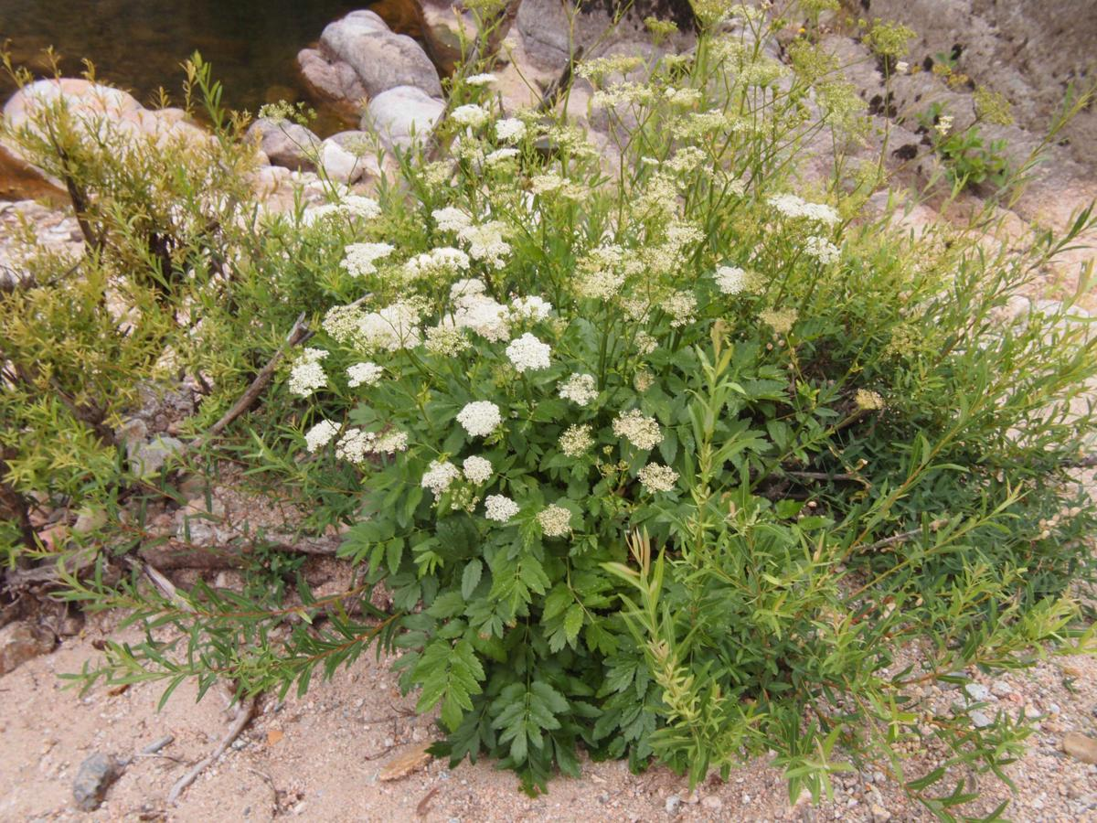 Burnet Saxifrage, Greater plant