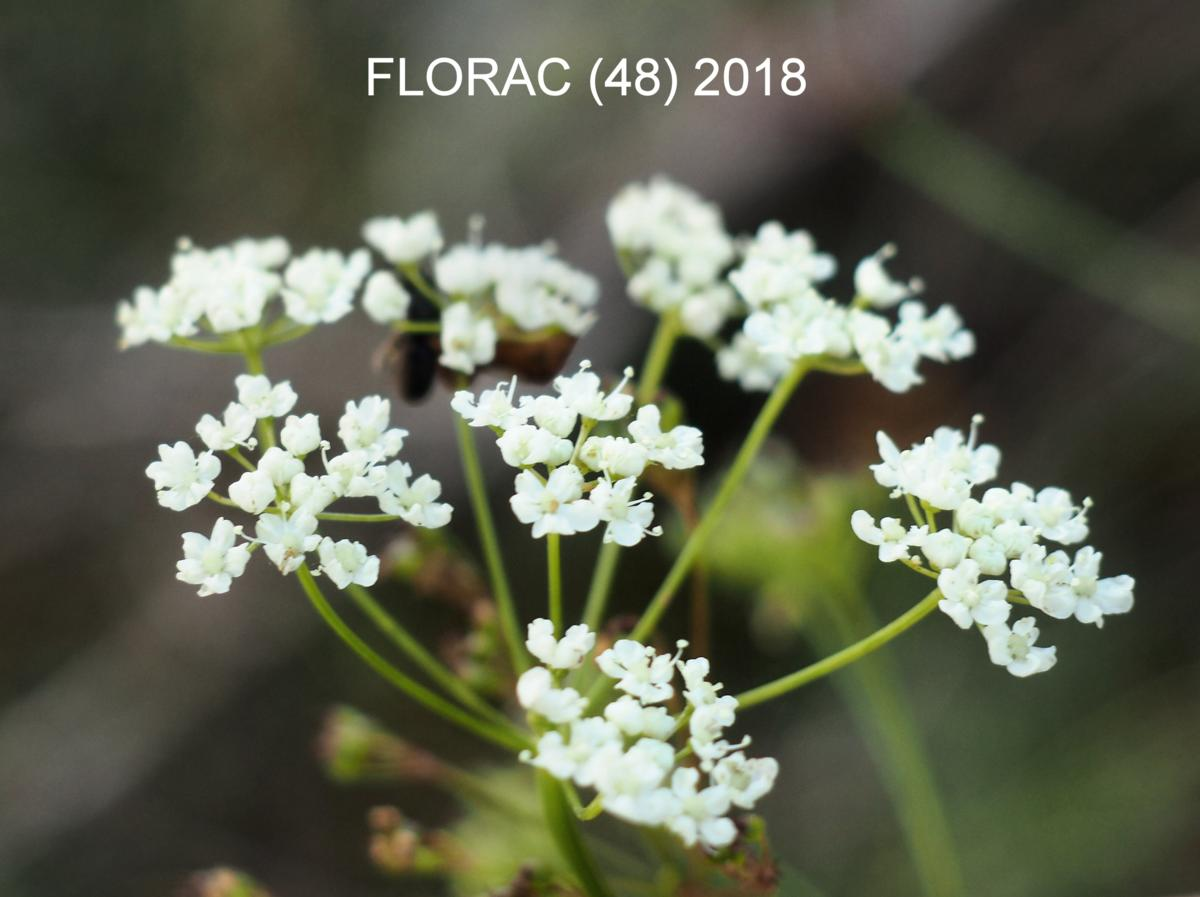 Burnet Saxifrage flower