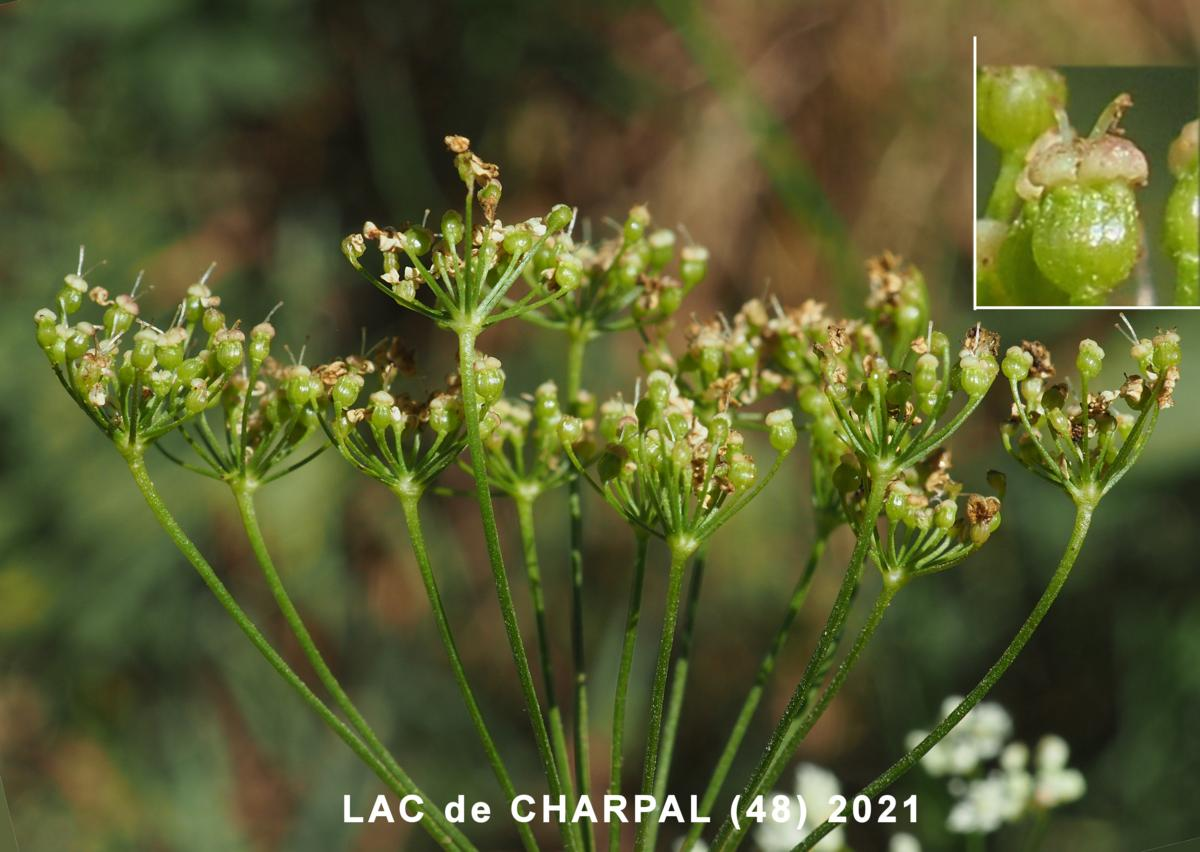 Burnet Saxifrage fruit