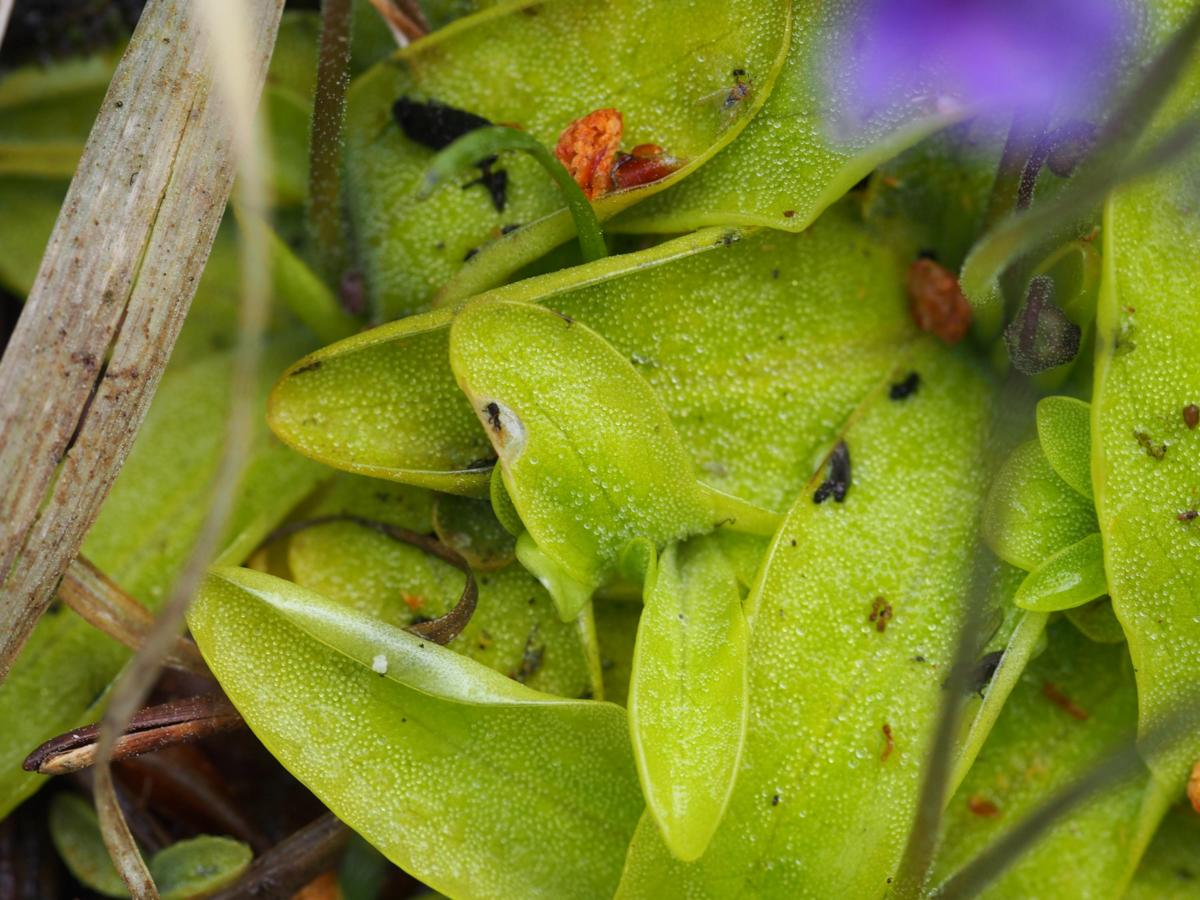 Butterwort, Common leaf