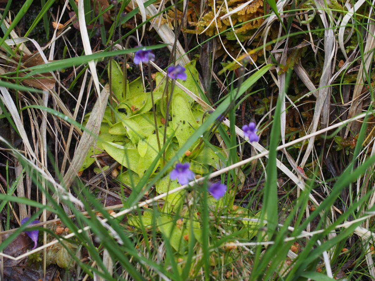Butterwort, Common plant