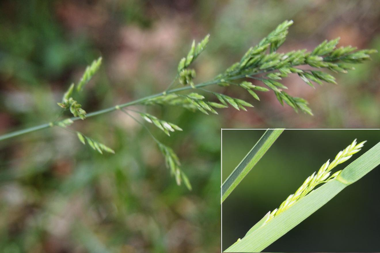 Meadow-grass, Broad-leaved