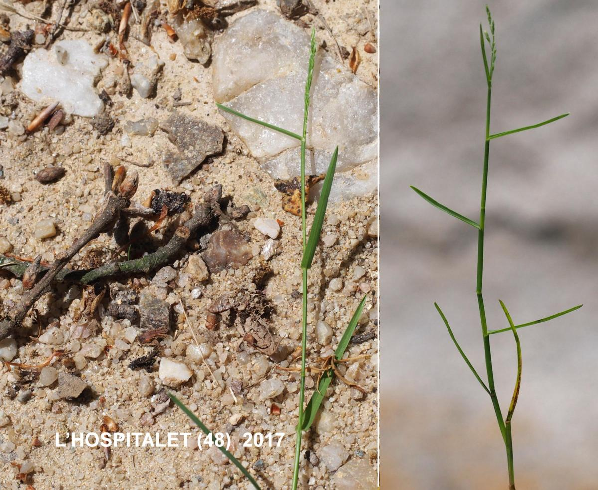 Meadow-grass, Flattened plant